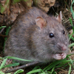 Rat Surmulot